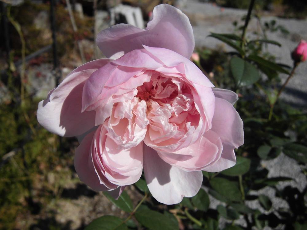 薔薇の栽培に挑戦