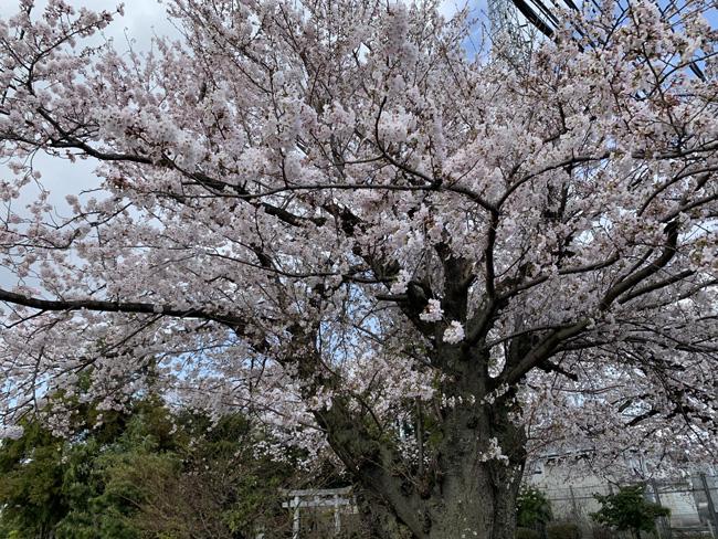 桜が綺麗に咲いていました!